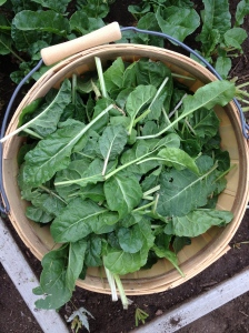 chard in the basket